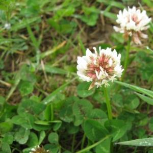Photographie n°21869 du taxon Trifolium repens L. [1753]
