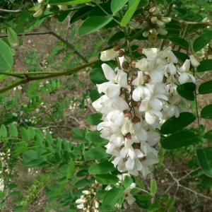 Photographie n°21870 du taxon Robinia pseudoacacia L.