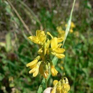 Trigonella esculenta Willd. (Trigonelle à petites cornes)