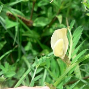 Photographie n°21884 du taxon Vicia lutea L. [1753]