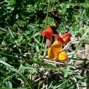Photographie n°21899 du taxon Lotus alpinus (DC.) Schleich. ex Ramond