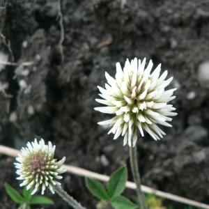 Photographie n°21900 du taxon Trifolium montanum L.