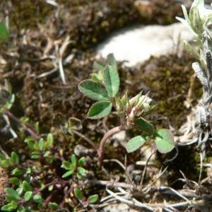 Photographie n°21923 du taxon Trifolium scabrum L. [1753]