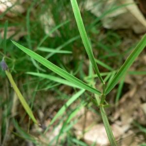 Photographie n°21946 du taxon Lathyrus linifolius subsp. linifolius