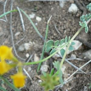 Photographie n°21971 du taxon Coronilla minima L. [1756]