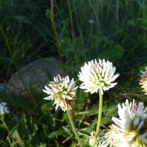 Photographie n°22007 du taxon Trifolium montanum L.