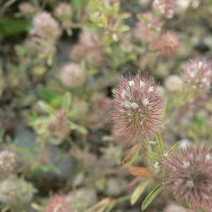 Photographie n°22021 du taxon Trifolium arvense L.