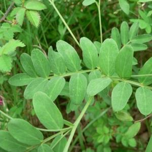 Photographie n°22038 du taxon Lathyrus niger (L.) Bernh. [1800]