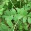 Mathieu MENAND - Lathyrus niger (L.) Bernh. [1800]