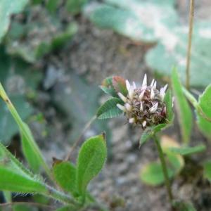 Photographie n°22057 du taxon Trifolium glomeratum L. [1753]