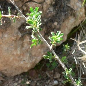 Photographie n°22061 du taxon Ononis fruticosa L.