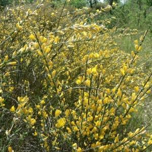 Photographie n°22079 du taxon Genista cinerea (Vill.) DC.