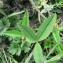 Mathieu MENAND - Trifolium montanum L.