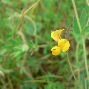 Lotus angustissimus L. (Lotier grêle)