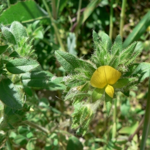 Ononis pubescens L. (Bugrane pubescente)