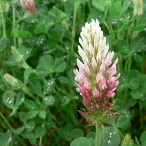 Photographie n°22134 du taxon Trifolium incarnatum L. [1753]