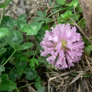 Photographie n°22140 du taxon Trifolium pratense L. [1753]