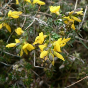 Photographie n°22148 du taxon Genista anglica L.