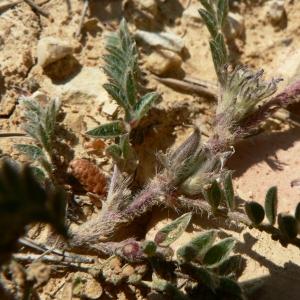 Photographie n°22151 du taxon Astragalus sesameus L. [1753]