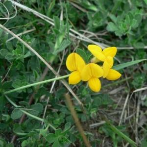 Lotus corniculatus L. subsp. corniculatus (Lotier commun)