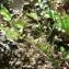 Mathieu MENAND - Vicia sativa subsp. nigra (L.) Ehrh. [1780]