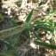 Mathieu MENAND - Lotus corniculatus subsp. tenuis (Waldst. & Kit. ex Willd.) Berher