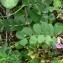Mathieu MENAND - Vicia sativa subsp. sativa