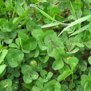 Photographie n°22209 du taxon Trifolium repens L. [1753]