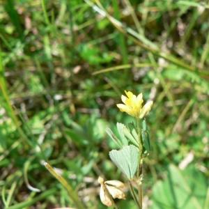 Trifolium micranthum Viv. (Trèfle à petites fleurs)