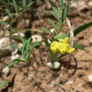 Photographie n°22231 du taxon Hippocrepis ciliata Willd.