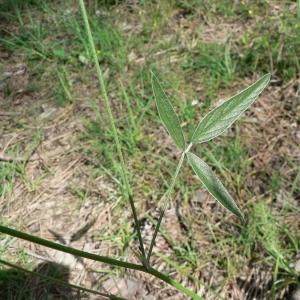 Photographie n°22260 du taxon Bituminaria bituminosa (L.) C.H.Stirt.