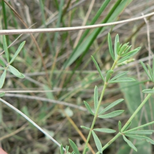 Photographie n°22278 du taxon Dorycnium herbaceum subsp. gracile (Jord.) Nyman [1878]