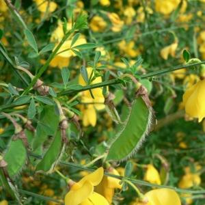 Photographie n°22290 du taxon Cytisus scoparius (L.) Link [1822]