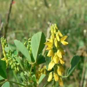 Photographie n°22309 du taxon Melilotus officinalis (L.) Lam. [1779]