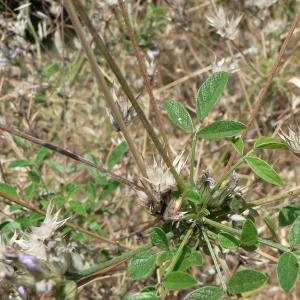 Photographie n°22317 du taxon Bituminaria bituminosa (L.) C.H.Stirt.