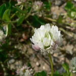 Photographie n°22322 du taxon Trifolium hybridum L. [1753]