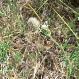 Photographie n°22325 du taxon Trifolium arvense L.