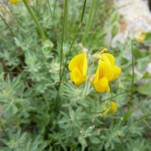Lotus corniculatus subsp. delortii (Timb.-Lagr. ex F.W.Schultz) Nyman (Lotier de Delort)