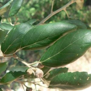 Photographie n°22348 du taxon Quercus suber L. [1753]