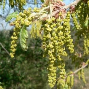 Photographie n°22353 du taxon Quercus pubescens Willd. [1805]