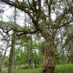 Photographie n°22354 du taxon Quercus suber L. [1753]