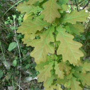 Photographie n°22355 du taxon Quercus robur L. [1753]