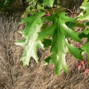 Photographie n°22361 du taxon Quercus rubra L. [1753]