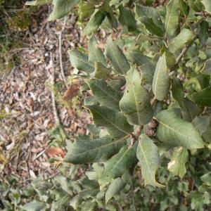 Photographie n°22365 du taxon Quercus ilex L. [1753]