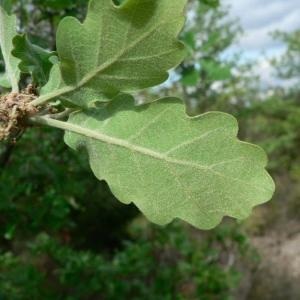 Photographie n°22366 du taxon Quercus pubescens Willd. [1805]