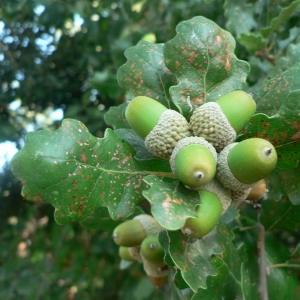 Photographie n°22368 du taxon Quercus pubescens Willd. [1805]