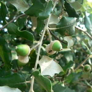 Photographie n°22369 du taxon Quercus ilex L. [1753]