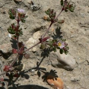 Photographie n°22372 du taxon Frankenia pulverulenta L.