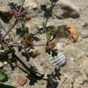 Photographie n°22373 du taxon Frankenia pulverulenta L.