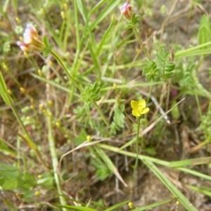 Photographie n°22384 du taxon Cicendia filiformis (L.) Delarbre [1800]
